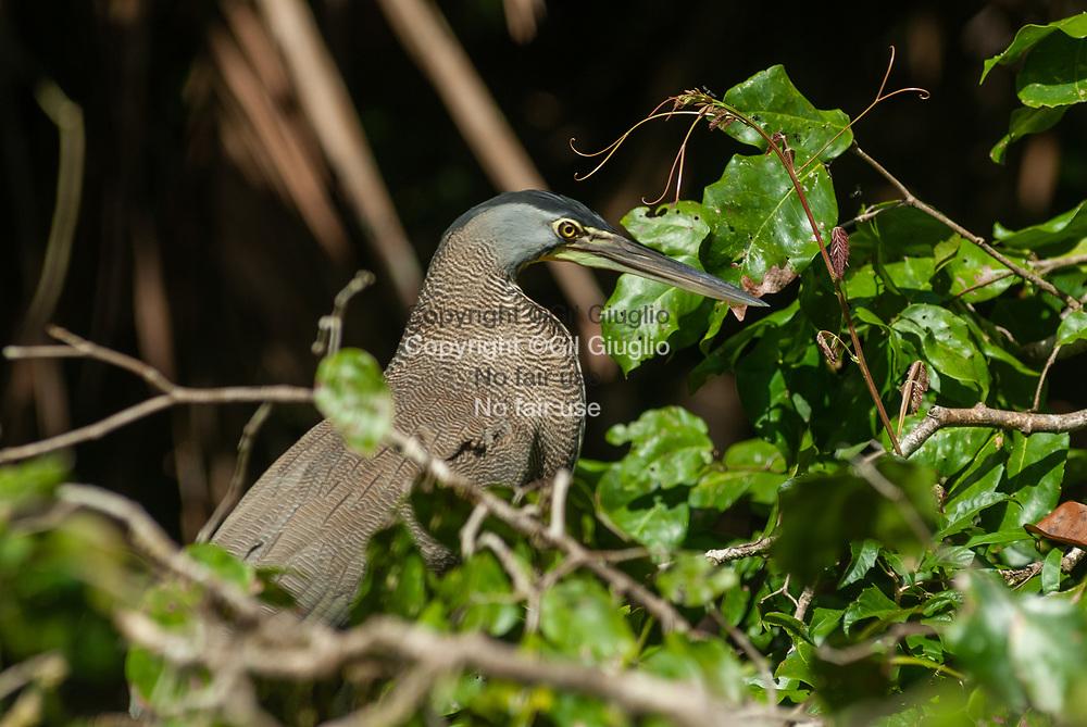 Costa Rica, province de Limon, Parc National de Tortuguero, oiseau sur canal secondaire // Costa Rica , province of Limon , Tortuguero National Park , bird on secondary canal