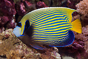 Emperor Angelfish, Pomacanthus imperator.
