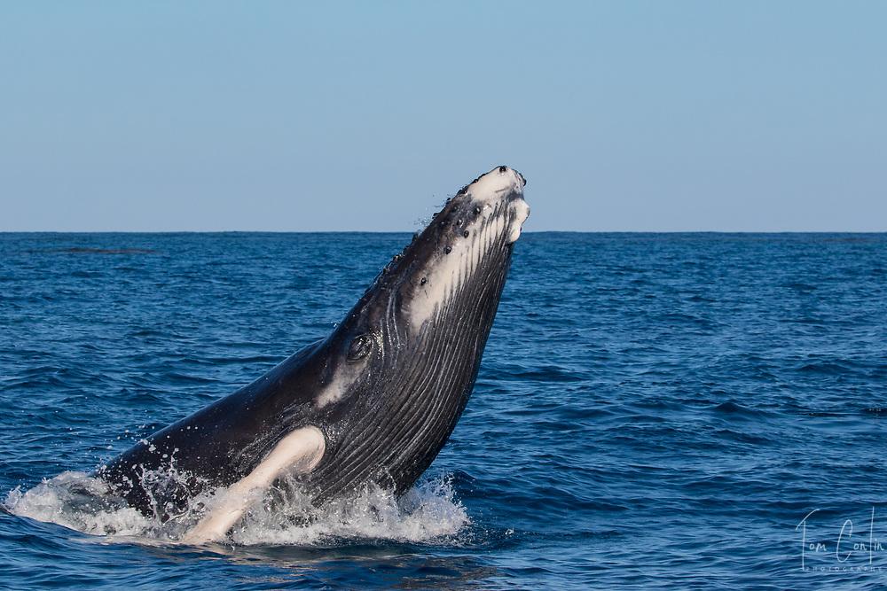 humpback whale ~ Megaptera novaeangliae ~ calf chin breaching~ Silver Bank, Dominican Republic ~ www.aquaticadventures.com
