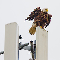 New Jersey was once home to more than 20 pairs of nesting bald eagles. As a result of the use of the pesticide DDT, the number of nesting pairs of bald eagles in the state declined to only one by 1970 and remained at one into the early 1980's. Use of DDT was banned in the United States in 1972. That ban combined with restoration efforts by biologists within the NJ Division of Fish and Wildlife's Endangered and Nongame Species Program (ENSP) acted to increase the number of New Jersey bald eagles.  This   pair of juvenile bald eagles reside in northern monmouth county.