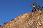 Red pine tree (Pinus resinosa)  growing on top of the granite bedrock in Killarney Provincial park in Ontario, Canada. .