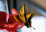 Extreme closeup butterfly at bird feeder