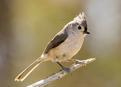 A Titmouse With A Nice Spiky Hairdo On His Perch