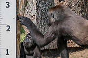 A baby gorlla is shown the ruler by its mother - The annual weigh-in records animals' vital statistics at ZSL London Zoo. London, 24 August 2017