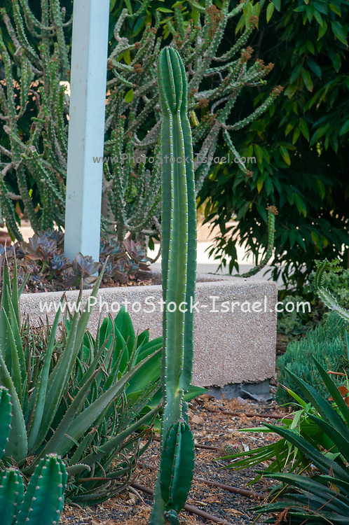 Columnar Cactus Polaskia chichipe in a Cactus and succulent garden Photographed in Tel Aviv, Israel in May