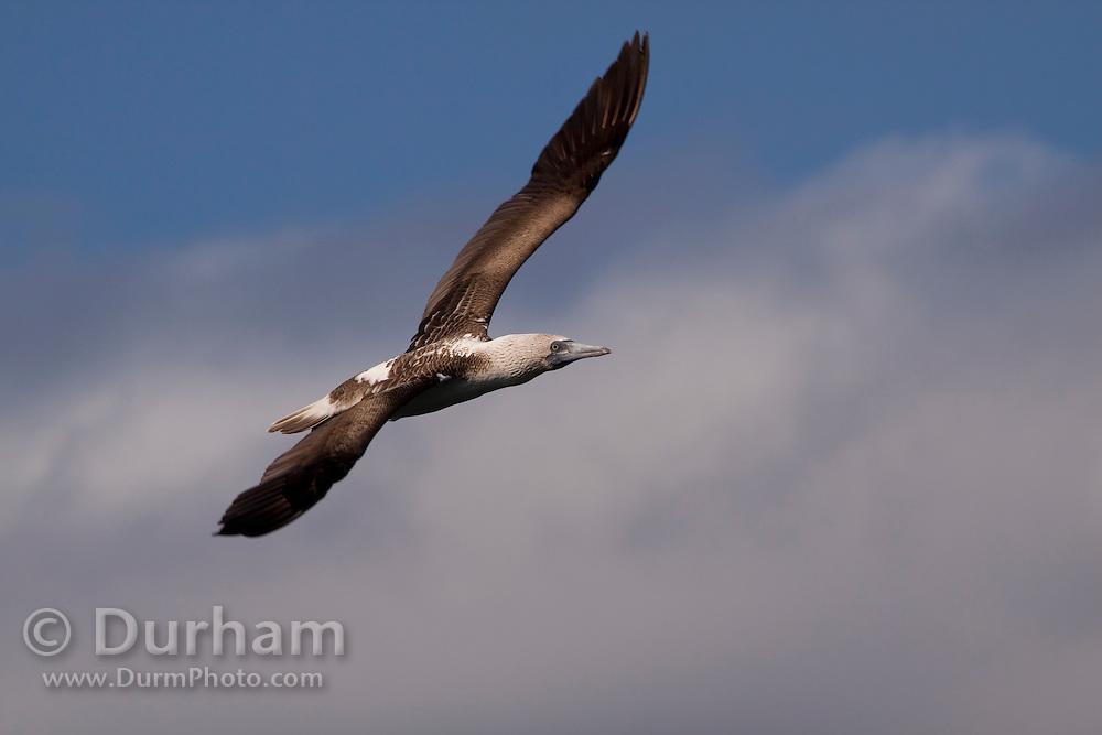A blue-footed booby (Sula nebouxii) flying near the coast of Isabela Island, Galapagos Archipelago - Ecuador.