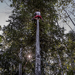 """Swagup Village. Upper Sepik. Whilst the women go fishing, the men do their garden work. They mostly plant cacao, sweet potatoe, vanilla (for export), coconuts, beetle nuts Moses is getting some mustard sticks straight from the tree top. In Papua New Guinea, the popularity of the psychoactive betel nut is on the rise. Once reserved for sacred events, now almost half of Papua New Guineans chew betel nut.It is common for children as young as six to chew it, and addicts admit using the drug every day from morning to night. The chewing of betel nut, the seed of the Areca palm, is common across Asia and the Pacific.<br /> In Papua New Guinea, where it is known locally as """"buai"""", it is consumed with a mustard stick dipped in slaked lime powder."""