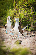 A pair of blue-footed boobies embark on their courtship display, North Seymour Island, Galapagos. Ecuador, South America