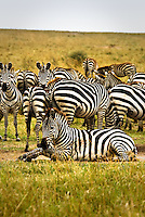 A dazzle of Burchell's Zebra in the Masai Mara National Park, Kenya