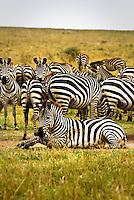 A dazzle of Burchell's Zebra in the Masai Mara National Park, Kenya