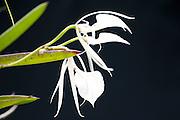 Lady of the Night Orchid, Brassavola nodosa, Panama, Central America, Gamboa Reserve, Parque Nacional Soberania