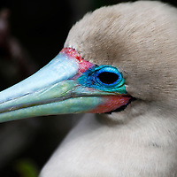 South America, Ecuador, Galapagos Islands. Red-footed Booby on Genovese Island.