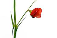 France, Languedoc Roussillon, Gard (30), Cevennes, fleur de Gesse chiche, N.L.: Lathyrus cicera, (Fabacées)