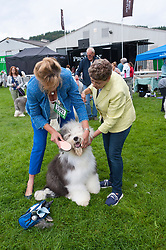 © Licensed to London News Pictures. 18/08/2018. Llanelwedd, Powys, UK. An Old English Sheepdog gets groomed on the second day of The Welsh Kennel Club Dog Show, held at the Royal Welsh Showground, Llanelwedd in Powys, Wales, UK. Photo credit: Graham M. Lawrence/LNP