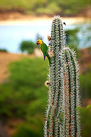 Bonaire Lora on a Tall Cactus in Bonaire. Image taken with a Nikon D3s and 70-300 mm VR lens (ISO 280, 300 mm, f/8, 1/320 sec).