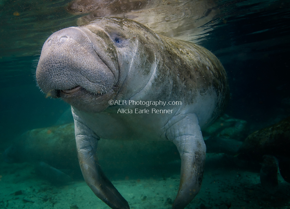 Manatee adult swims in Crystal River