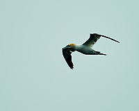 Northern Gannet (Morus bassanus). Viewed from the Vestmannaeyjar ferry. Image taken with a Nikon D4 camera and 80-400 mm VR lens