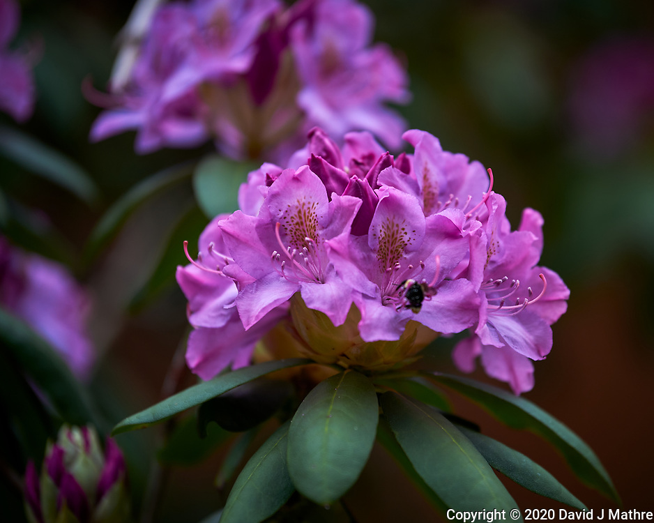 Rhododendron. Image taken with a Nikon Df camera and 70-200 mm f/2.8 lens.