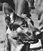 King County police introduced a new member of the force, Duke. The German Shepherd was one of two of the county's first police dogs. (Kathy Andrisevic / The Seattle Times, 1977)