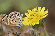 Peablue (Lampides boeticus), or Long-tailed Blue Butterfly shot in Israel, Summer August