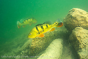 A pair of Peacock Bass, Cichla sp., guards its territory in a Miami, FL freshwater lake. This tropical freshwater species, also known as the Peacock Cichlid, was intentionally introduced in Florida in the mid 1980s from South America to control the Tilapia population, another invasive species. Throughout its native range (and in Florida) it's a prized sportfish.