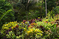 A densely planted area of multi coloured Cordiaeum variegatum (Croton) under a palm tree in The Tower Garden, St. Paul's, Grenadiada, the Caribbean, West Indies