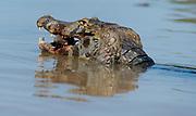 Caiman (Caiman yacare) with its prey. Porto Jofre, Pantanal, Brazil.