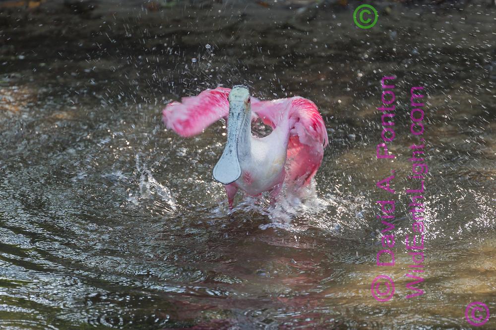 Roseate spoonbill bathing in wetland pool, © David A. Ponton