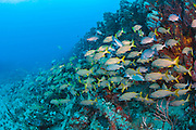 Smallmouth grunts, Haemulon chrysargyreum, gather inside the Amarylis, a shipwreck offshore Singer Island, Florida, United States.