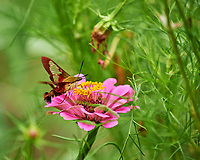 Hummingbird Clearwing Moth (Hemaris thysbe) Feeding on a Zinnia Flower. Image taken with a Nikon Df camera and 70-300 mm VR lens