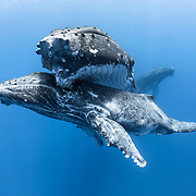 This is a male humpback whale calf (Megaptera novaeangliae australis) resting beneath his mother, with the male escort visible in the background.
