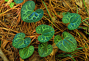 Shuttleworths Ginger (Hexastylus shuttleworthii) - Rare plant in Mississippi