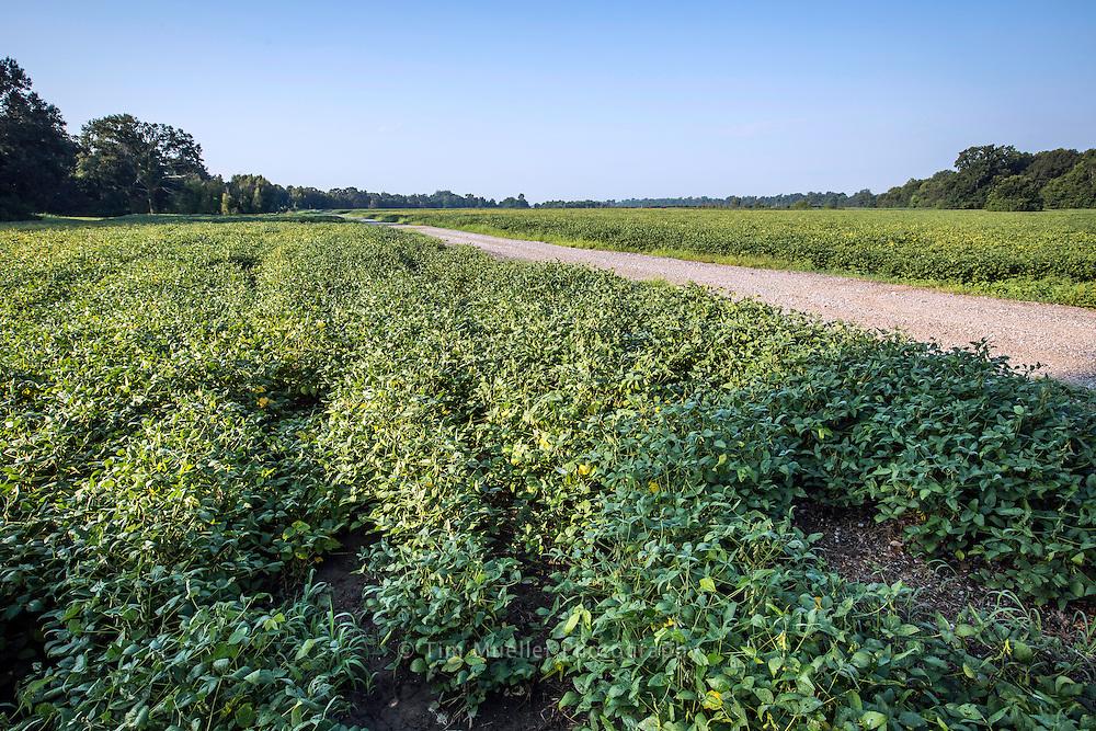 Soybean field in West Baton Rouge Parish.