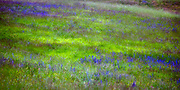 Lavender in a grassy field, Mt. Subasio, Assisi, Italy