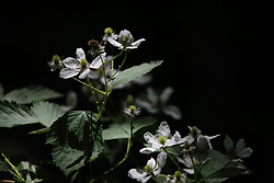 Rubus argutus - Sawtooth Blackberry, Southern Blackberry, Highbush Blackberry