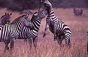 Male Zebra fight for dominance, Samburu National Park