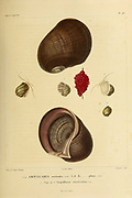 Ampullaria - Freshwater snail Mollusks from the book 'Voyage dans l'Amérique Méridionale' [Journey to South America: (Brazil, the eastern republic of Uruguay, the Argentine Republic, Patagonia, the republic of Chile, the republic of Bolivia, the republic of Peru), executed during the years 1826 - 1833] Volume 5 Part 3 By: Orbigny, Alcide Dessalines d', d'Orbigny, 1802-1857; Montagne, Jean François Camille, 1784-1866; Martius, Karl Friedrich Philipp von, 1794-1868 Published Paris :Chez Pitois-Levrault. Publishes in Paris in 1843