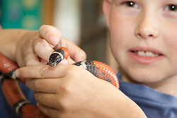 United States, Washington, Gig Harbor, boy (age7) holding snake. MR