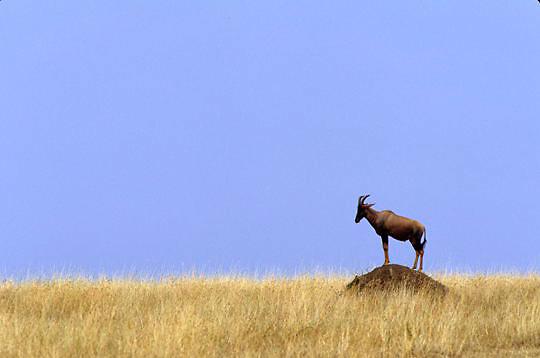 Topi, (Damaliscus lunatus) On termite mound. Serengeti Plains. Masai Mara Game Reserve. Kenya. Africa.