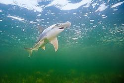 bonnethead shark, Sphyrna tiburo, Little Card Sound, Biscayne Bay, Key Largo, Florida Keys, Florida, USA, Caribbean Sea, Atlantic Ocean