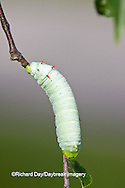 04012-00103 Promethea Moth (Callosamia promethea) caterpillar on host plant, Wild Cherry, Marion Co., IL
