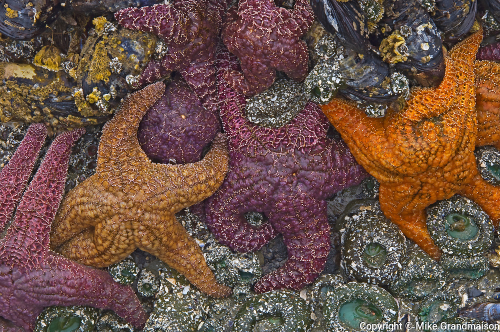Starfish and anemones at low tide in Pacific Ocean<br />
