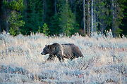 Famed Grizzly 399, Ursus arctos horribilis, and cubs search for food prior to hibernation in late fall in Grand Teton National Park.