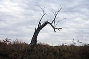 dead tree in the autumn season against a gray sky