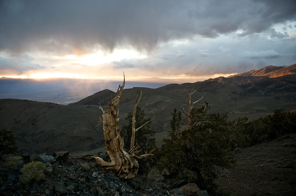 The Bristlecone Pine trees are thought to be the oldest living organisms on earth, living to well over 4,000 years. Because the grow in dry soils and amidst cold winds they grow very slowly and the wood is extremely dense. Here bristlecones line a ridge along the White Mountains overlooking the Owens Valley.