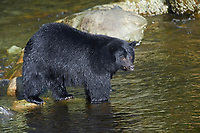 Black Bear (Ursus americanus), Thornton Fish Hatchery, Ucluelet, British Columbia, Canada