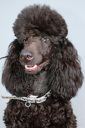 Pedigree Female Brown miniature poodle