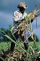 Sugar cane harvest -Martinique (French département d'outre Mer - DOM) - France<br /> French West Indie - Antilles françaises<br /> Caribbean