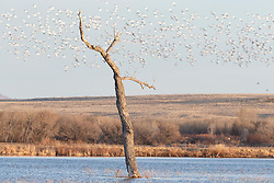 Lone tree in pond and snow geese in flight, Bosque del Apache, National Wildlife Refuge, New Mexico, USA.