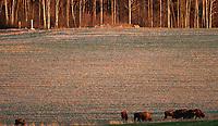 30.12.2015 okolice wsi Jurowlany woj podlaskie N/z stado dziko zyjacych zubrow , w tle slupy graniczne na granicy z Bialorusia fot Michal Kosc / AGENCJA WSCHOD